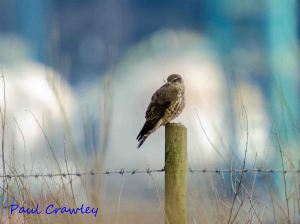 31.03.13. Merlin (female), No 3 tank, Frodsham Marsh. Paul Crawley