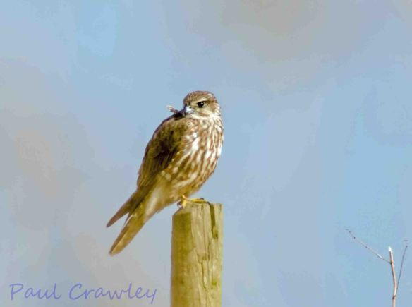 31.03.13. Merlin (female), No 3 tank, Frodsham Marsh. Paul Crawley.