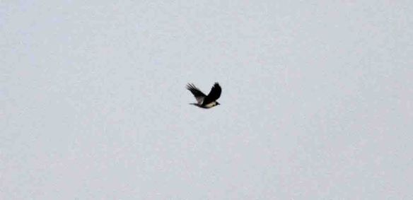 06.04.13. Hooded Crow over No 6 tank, Frodsham Marsh. Heather Wilde (1)