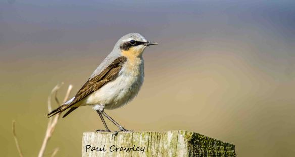 06.04.13. Wheatear (male), No 1 tank, Frodsham marsh. Paul Crawley (3)
