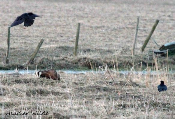 08.04.13. Badger and Crows, frodsham Marsh. Heather Wilde.