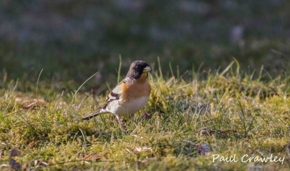 12.04.13. Brambling (male), Paul Crawley