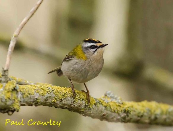 13.04.13. Firecrest (male). frodsham Marsh. Paul Crawley.