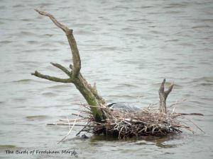 13.04.13. Grey heron on nest, No 6 tank, Frodsham Marsh. Bill Morton