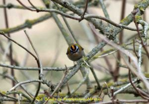 13.04.14. Firecrest, Frodsham Marsh. Bill Morton