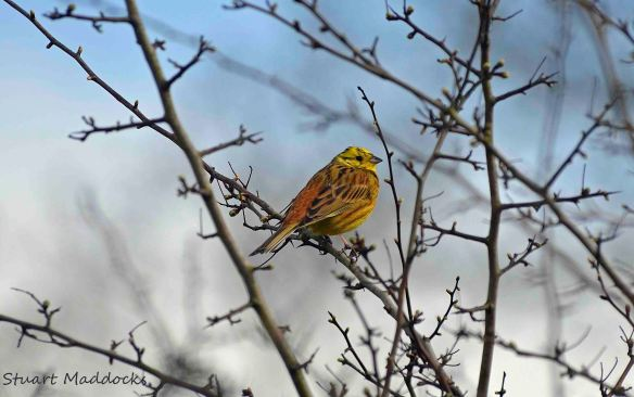 16.04.13. Yellowhammer, Ince Marsh. Stuart Maddocks