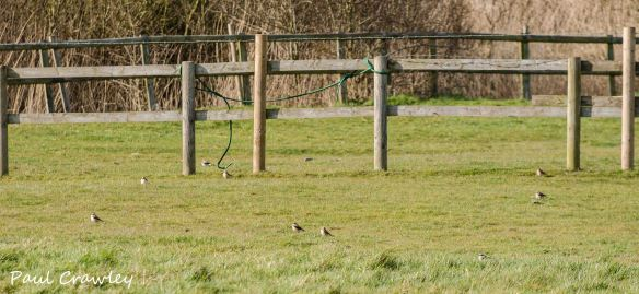 18.04.13. Yellow Wagtail and Wheatears, Horse Padock, frodsham Marsh