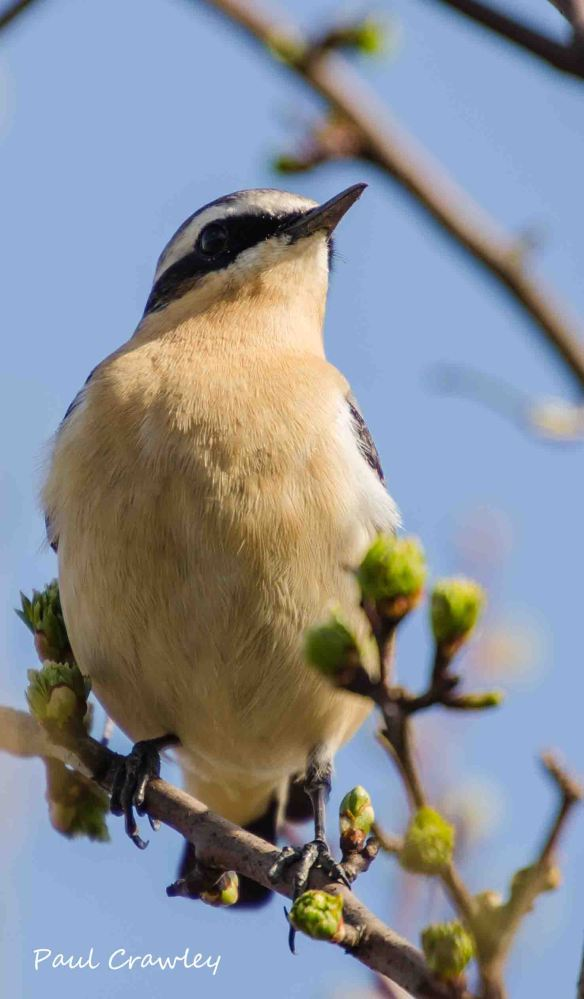 19.04.13. Wheatear (male), Frodsham Marsh. Paul Crawley.
