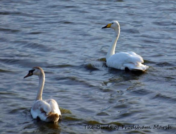 23.04.13. Adult Whooper with imm Mute Swan, no 6 tank, Frodsham Marsh. Bill Morton.