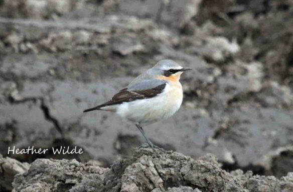 26.04.13. Wheatear (male), Lordship Marsh, frodsham Marsh. Heather Wilde.
