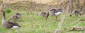 28.04.13. Greylag and goslings, no 2 tank, frodsham Marsh