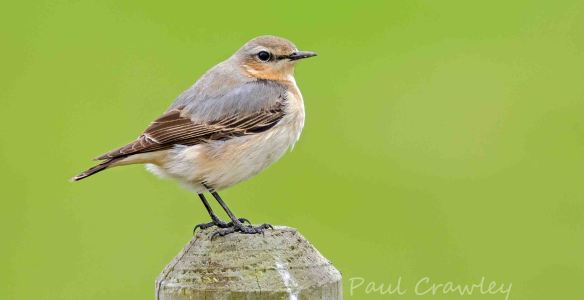28.04.13. Wheatear, frodsham Marsh. Paul Crawley