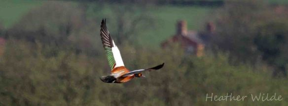 30.04.13. hybrid Ruddy Shelduck, Frodsham Marsh. Heather Wilde.
