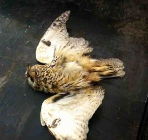 27.04.13. Long-eared Owl (deceased), Ince.