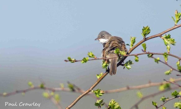 30.04.13. Whitethroat, frodsham Marsh. Paul Crawley.
