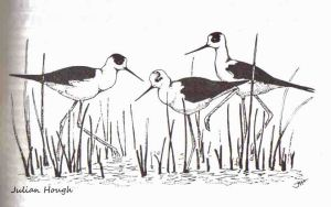 Black-winged Stilts line drawing by Julian Hough of 1994 North West Region Bird Report (No6 tank evcavations) copy