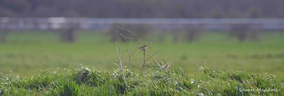 Whinchat, April 2013, Frodsham Marsh. Stuart Maddocks