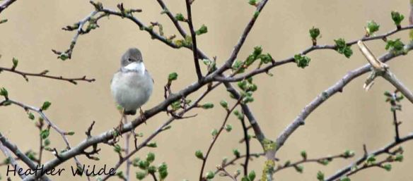 27.04.13. Whitethroat, Frodsham Marsh. Heather Wilde