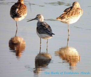 02.05.13. Greenshank and Black-tailed Godwits, No 6 tank, Frodsham Marsh. Bill Morton.