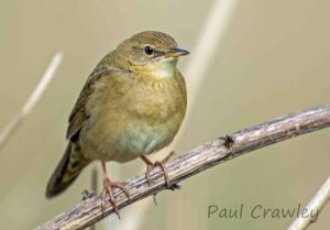 06.05.13. Grasshopper Warbler, Frodsham Marsh. Paul Crawley (4)