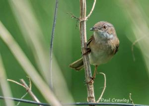 08.05.13. Common Whitethroat, Frodsham Marsh. Paul Crawley (2)