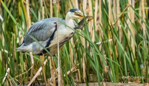 08.05.13. Grey Heron, Frodsham Marsh. Paul Crawley (2)