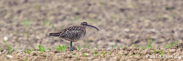08.05.13. Whimbrel, Frodsham Marsh. Paul Crawley (2)