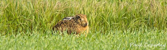 23.05.13.Brown Hare, Frodsham Marsh. Paul Crawley..