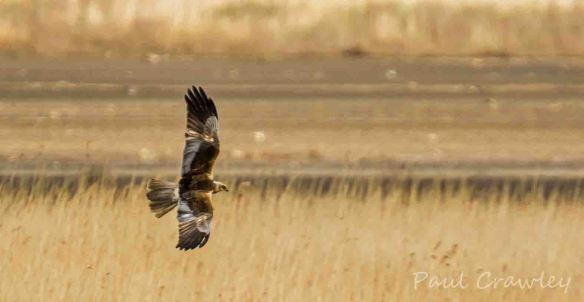 23.05.13. Marsh Harrier (male), Frodsham Marsh. Paul Crawley..