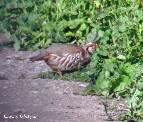 24.05.13. Red-legged Partridge, No 6 tank, Frodsham Marsh. James Walsh.