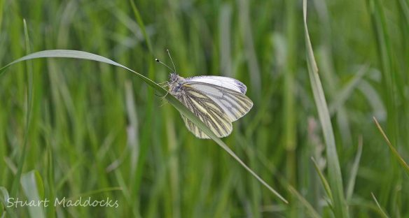 25.05.13. Green-veined White Butterfly, Ince Marshes. Stuart Maddocks.