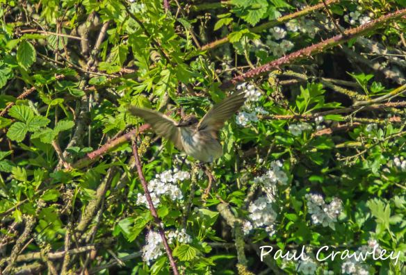 25.05.13. Spotted Flycatcher, No 5 tank,  Frodsham Marsh. Paul Crawley