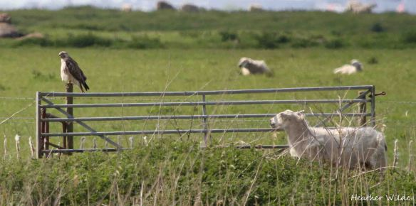 26.05.13. Buzzard and Sheep, Frodsham Marsh. Heather Wilde.