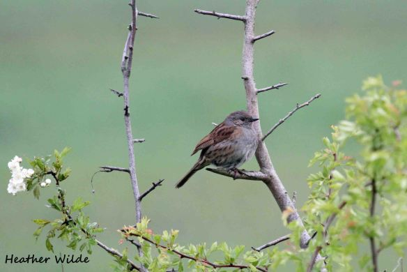29.05.13. Dunnock Frodsham Marsh. Heather Wilde.