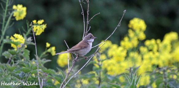 30.05.13. Whitethroat, Frodsham Marsh. Heather Wilde.