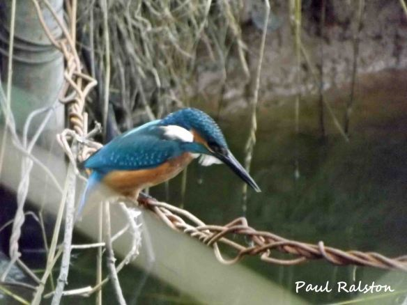 Autunm 2012. Kingfisher Paul Ralston......