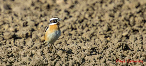 01.05.13. Whinchat, Lordship Canal, Frodsham Marsh. Paul Crawley.
