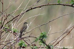 Sedge Warbler (singing in the rain), Frodsham Marsh. Heather Wilde.