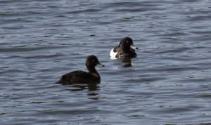 Tufted Duck, Weaver Bend, Frodsham Marsh. Heather Wilde.
