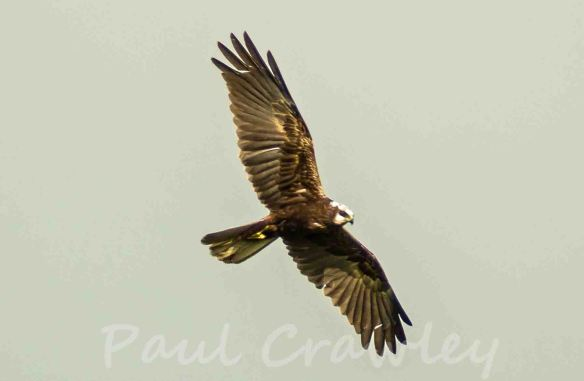 01.06.13. Marsh Harrier (female), Frodsham Marsh. Paul Crawley.