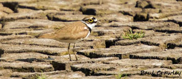 08.06.13. Little Ringed Plover, Frodsham Marsh