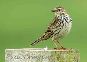 20.06.13. Meadow Pipit, Frodsham Marsh. Paul Crawley (8)