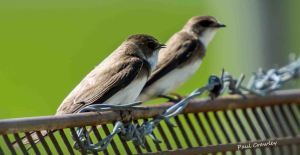 25.05.13. Sand Martins, Marsh Farm,  Frodsham Marsh. Paul Crawley