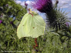 Brimstone Butterfly, Delamere Forest. Bill Morton.