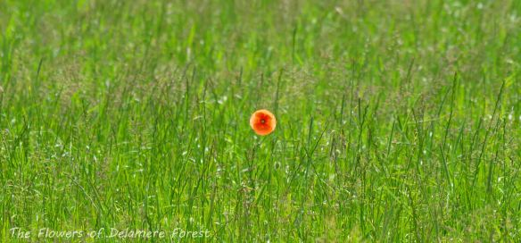 18.06.13. Solitary poppy, Delamere Forest. Bill Morton.