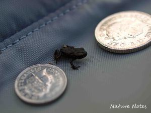 05.07.13. Toadlet. Bill Morton.