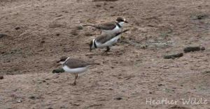 20.07.13. Little Ringed Plover (juveniles), No 6 tank,  Frodsham Marsh. Heather Wilde. Digitally altered.