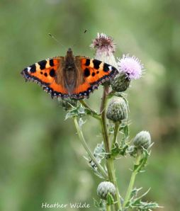 20.07.13. Small Tortoiseshell, Frodsham Marsh. Heather Wilde. copy