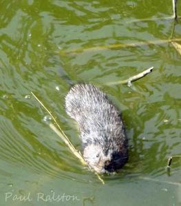20.07.13. Water Vole, Frodsham Marsh