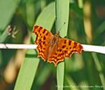 25.07.13. Comma, Frodsham Marsh. Bill Morton